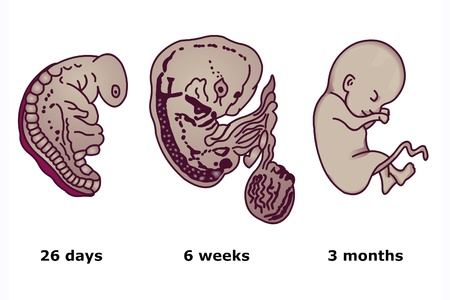 embryonic: The successive stages of human embryonic development