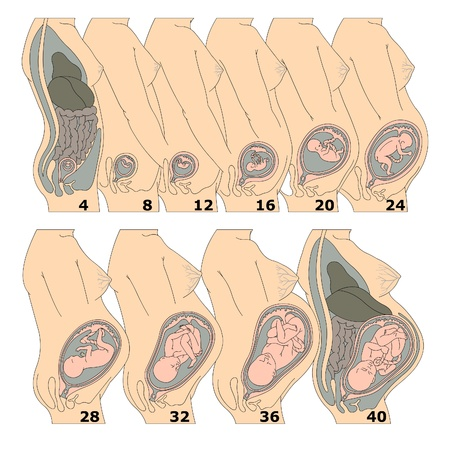 The growth of a human fetus in weeks Illustration