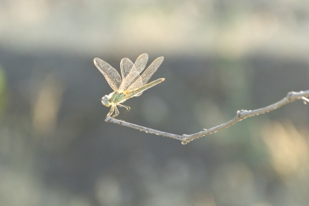 Glowing Dragonfly sit on a thin twig Stock Photo