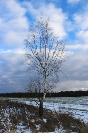 Lonely birch stands in the winter field Stock Photo