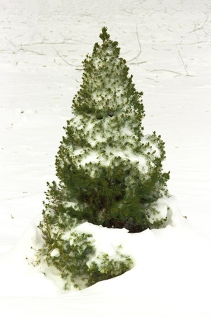 The small green arborvitae covered with snow