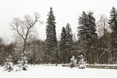Huge trees in the colorful winter forest Stock Photo