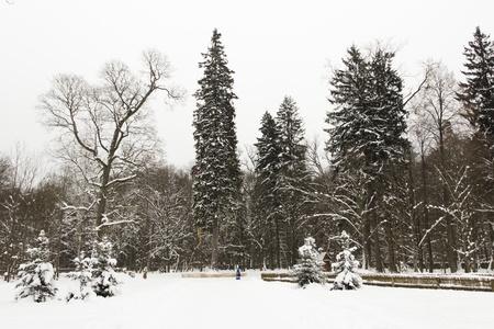 Les arbres g�ants de la for�t d'hiver color�