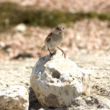 Small sparrow standing on the stone and looking at you