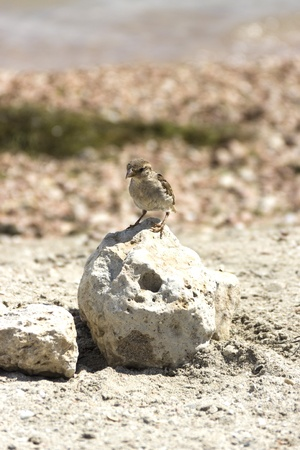 Small sparrow standing on the stone by the sea