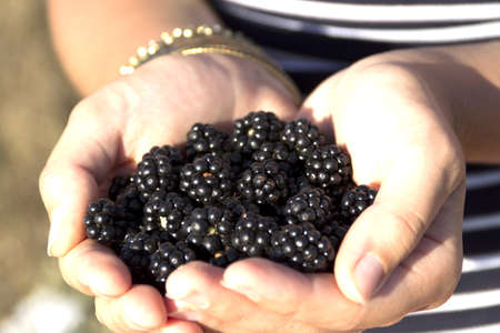 Juicy ripe blackberries in female hands Stock Photo