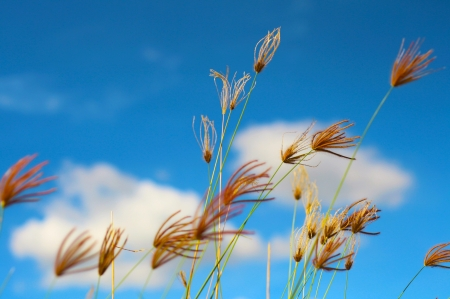 yellow grass in the wind blue sky photo