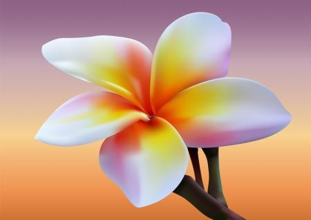 Frangipani flower  photo