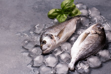 gilthead: Raw delicious fresh fish on ice on dark gray background. Gilt-head sea bream fish on ice. Decorated with basil. Copy space. Stock Photo