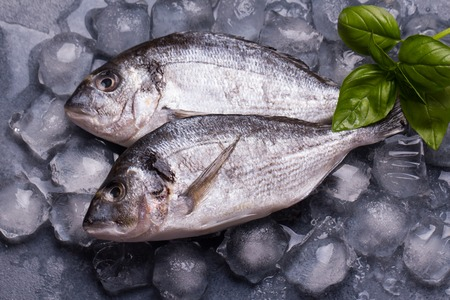 gilthead: Raw delicious fresh fish on ice on dark gray background. Gilt-head sea bream fish on ice. Decorated with basil.