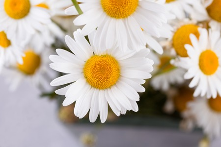 Chamomile. Blooming chamomile, Chamomile flowers. A bouquet of camomiles on a gray background