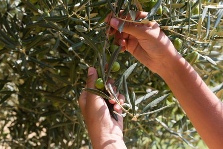 Farmer is harvesting and picking olives from olive tree.