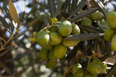Close up view of raw olives on tree and sun rays with clear, blue sky background.