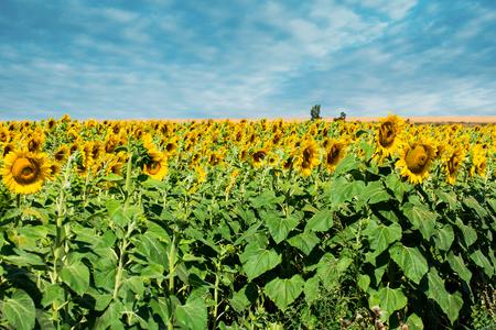 Prettiest sunflowers field with cloudy blue sky. Closeup of sunflower on farm. Rural landscape.