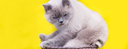 Portrait of grumpy British shorthair grey cat with big wide face on Isolated yellow background, front view