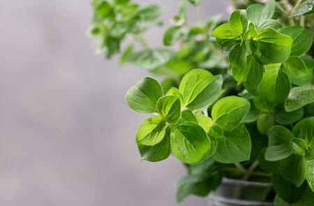 Twigs of oregano. Aromatic herb against grey background. Spicy kitchen herbs.