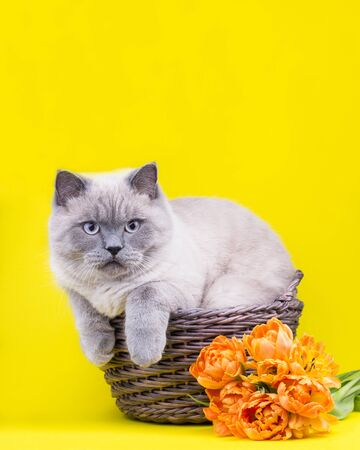 Cute grey cat in basket with double early tulips. Valentines day concept. Mothers day concept. Place for your text. Copy space. 版權商用圖片