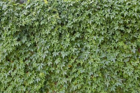 ivy wall: Natural ivy wall