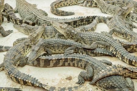 alligator eyes: crocodiles at zoo