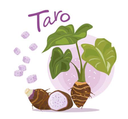 Taro Root Vector. Taro plant. fruit and slice of taro. typographic for header design. infographic for taro - vector illustration.