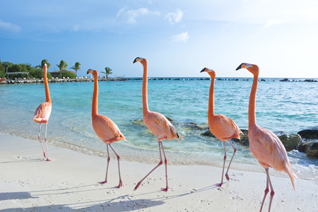 Beautiful flamingo on the beach, Aruba island