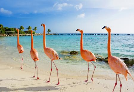 Fantastico fenicottero sulla spiaggia, isola di Aruba