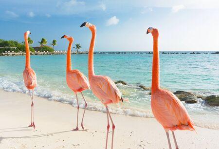 Flamencos rosados, isla de Aruba, mar Caribe Foto de archivo
