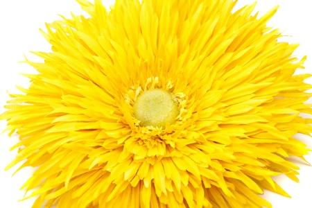 pion: Yellow pion flower