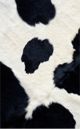 real black and white cow hide photo