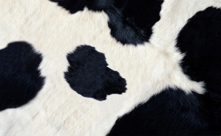 hiding: real black and white cow hide