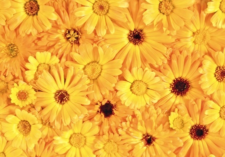 Yellow daisy-gerbera as background and pattern photo