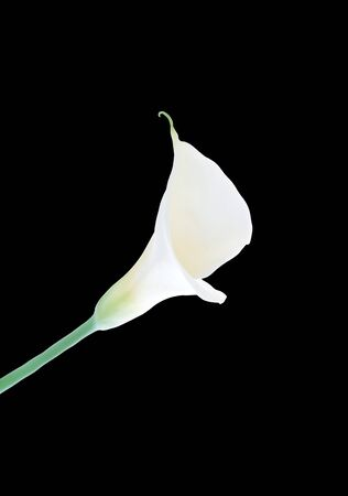 calla lily isolated photo