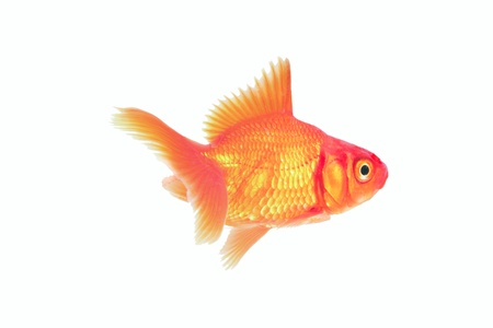 chidae: red cichlid fish Stock Photo