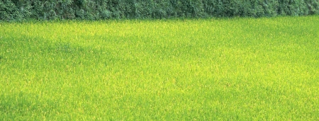 new spring green grass close up isolated photo