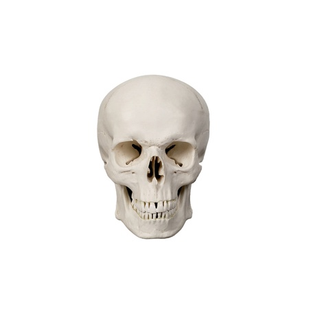 human scull Stock Photo - 14059668