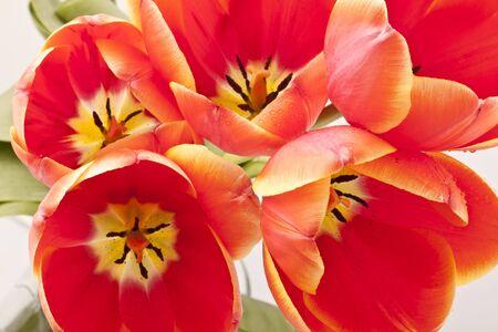 Beautiful red tulips close-up photo