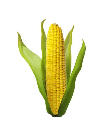 corn isolated on white background Stock Photo - 14086138