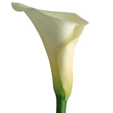 Calla lily isolated on a white background photo
