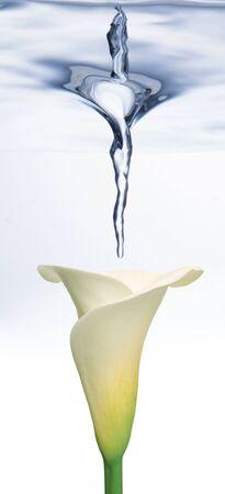 white Calla lily underwater with water splash photo