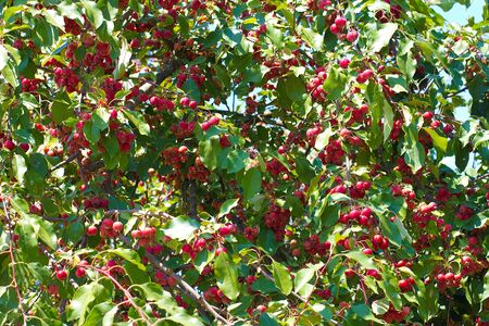 european rowan: Rowan Berries