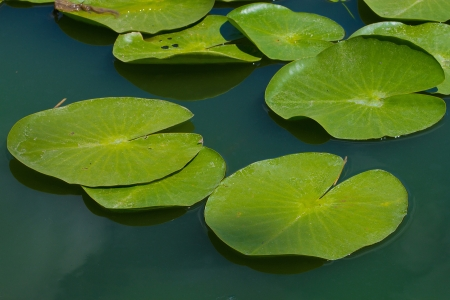 water lilly blossoms in summer day photo