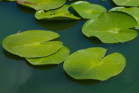 waterlilies: water lilly blossoms in summer day Stock Photo