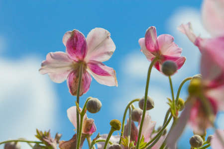 Beautiful pink flowers and Blue sky photo