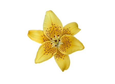 Yellow lilly flower isolated on white photo