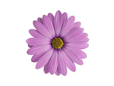white daisy: purple flower isolated on white Stock Photo