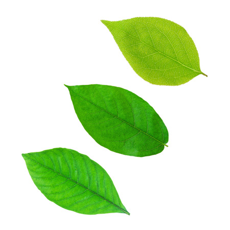 wet leaf: Green leaf