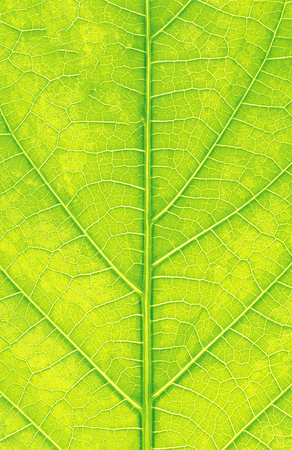 Grean leaf macro background or texture Stock Photo