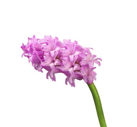 isolated lilac on white Zdjęcie Seryjne
