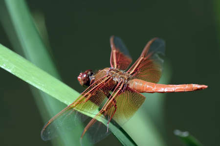 Dragon fly on a piece of grass