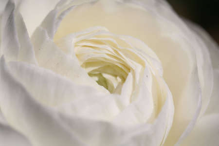 A macro of a white rose Stock Photo